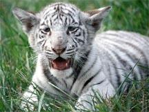 RFID Tiger